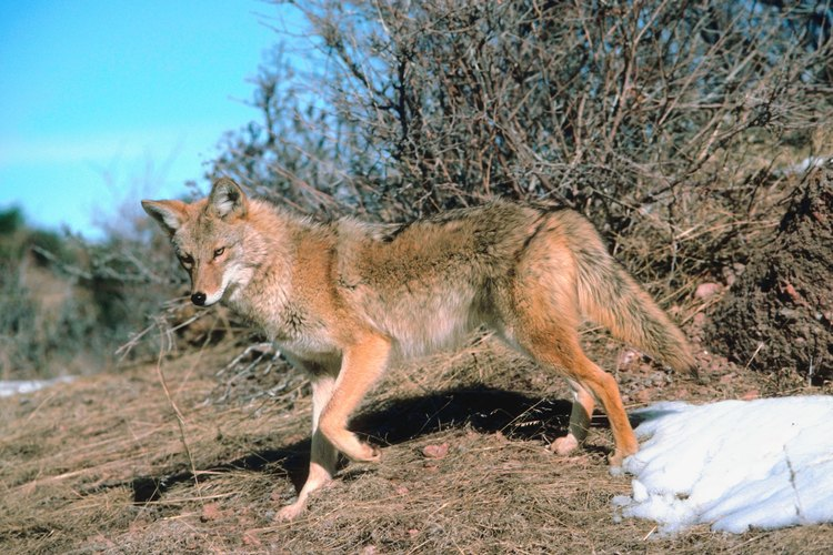 A coyote's small size makes it easier than a larger animal to practice with.