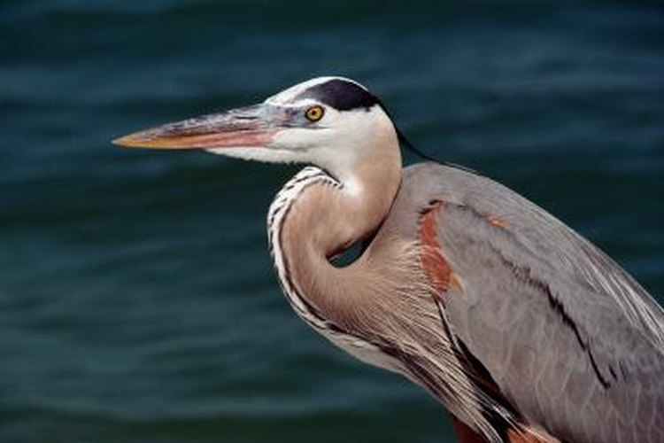 The great blue heron stalks many an estuary in North America.