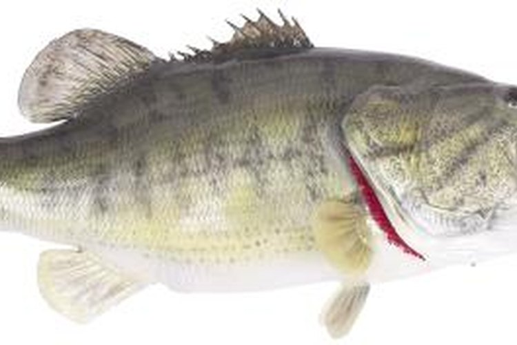 Sea bass are one type of fish found in the Delaware Bay.