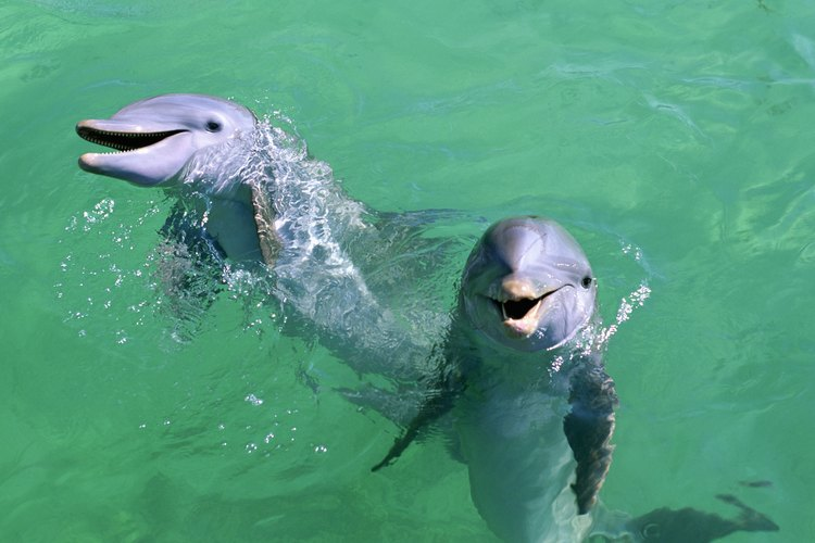 Two dolphins in the water.