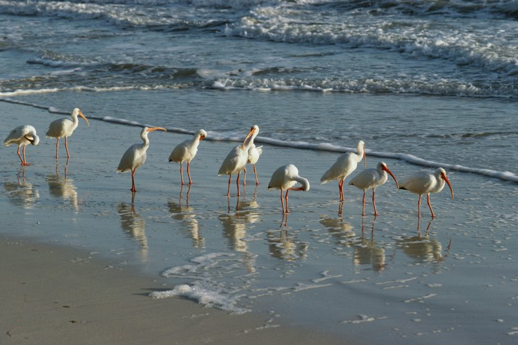 Seabirds dine in the surf at several Central Florida beaches.