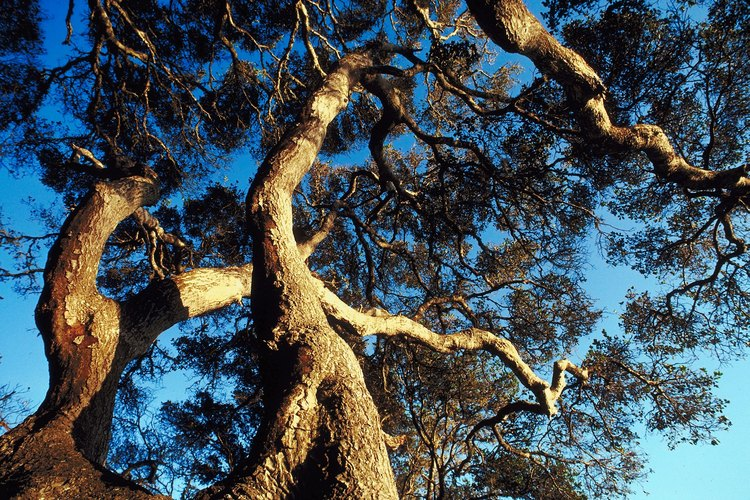 Towering oak trees can be found at Fallbrook's Live Oak Park.