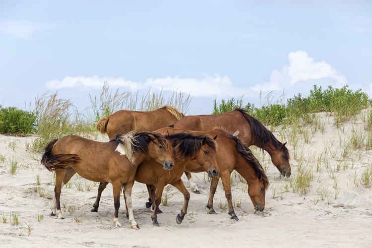 Ponies graze on the Assateague National Seashore.