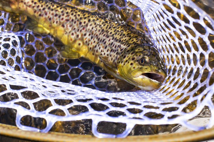 You can catch trout on homemade dough bait.