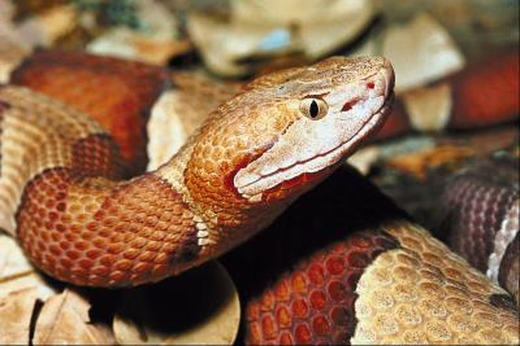The venomous copperhead snake is active between April and October.