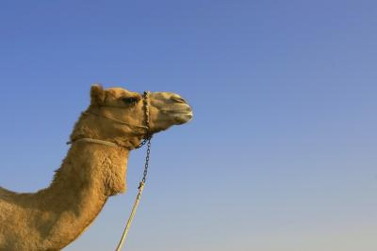 A thirsty camel can drink 30 gallons of water in 13 minutes.