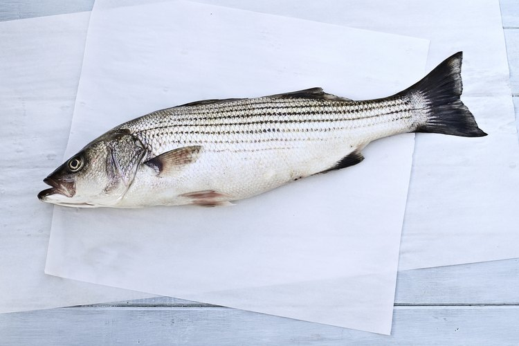 Striped bass can be caught from a boat, shore or surf.