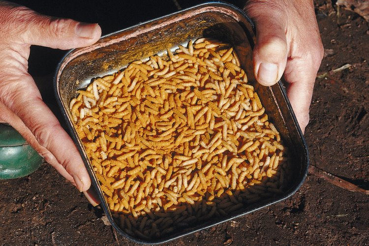 Maggots ready to be used as fishing bait