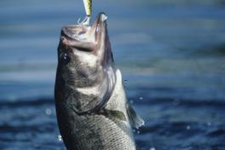 Largemouth bass are among the most sought-after game fish at Hammertown Lake.