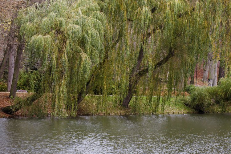 Willows are among the common trees whose wood makes good fireboards.