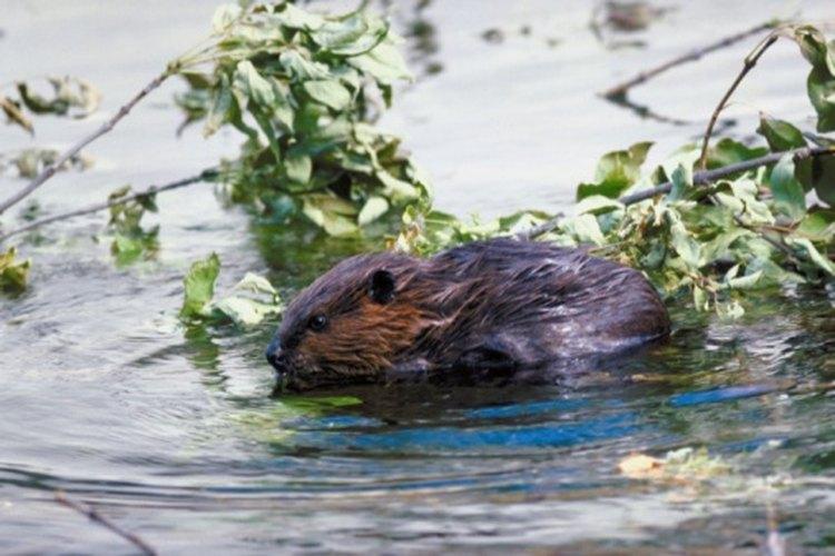 Beavers have very dense water-resistant fur.