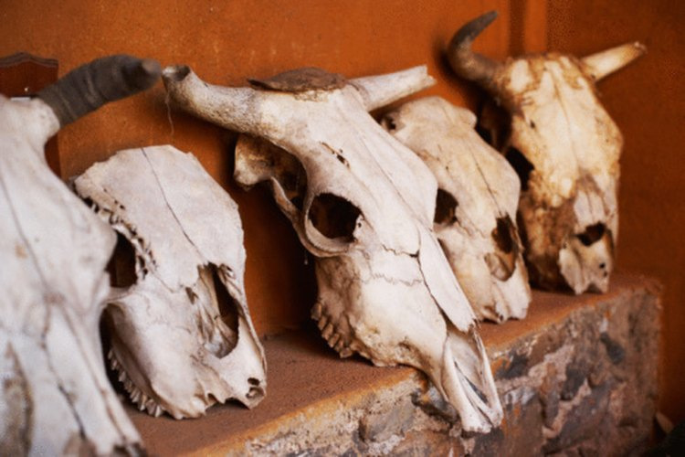 Cow skulls are often used in western themed decorating.