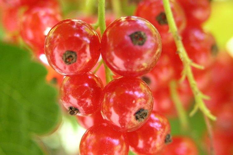 """La grosella roja, también conocida como """"zarzaparrilla roja"""" o """"corinto"""" es una baya ácida y comestible de color rojo translúcido."""