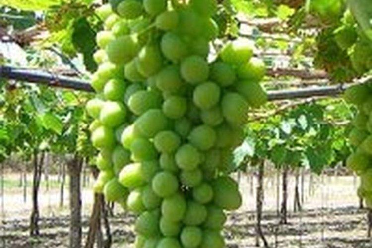 Debes podar las viñas cada año.