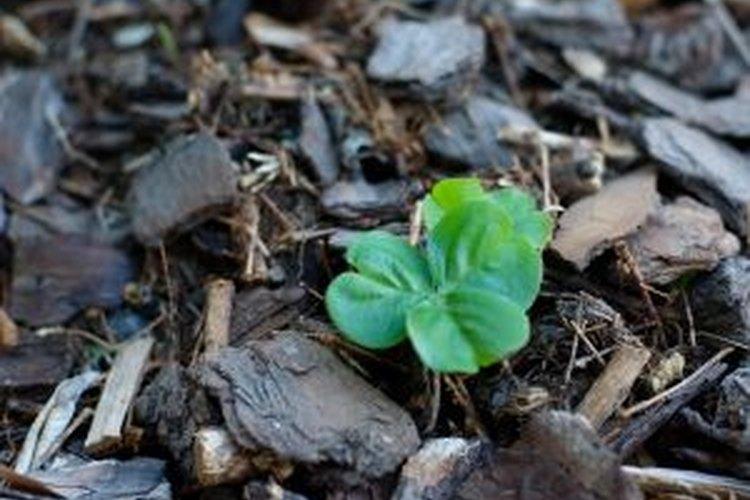 El agua de sauce puede ayudar a que los esquejes desarrollen raíces.