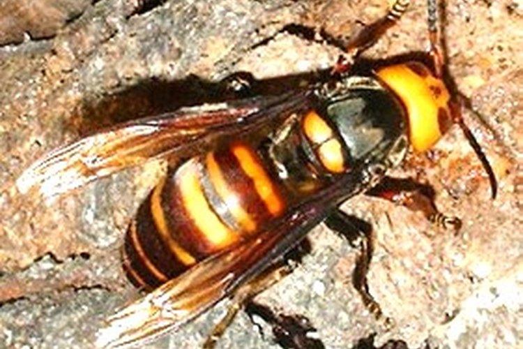El avispón japonés puede medir hasta 2 pulgadas (5 cm) de largo.