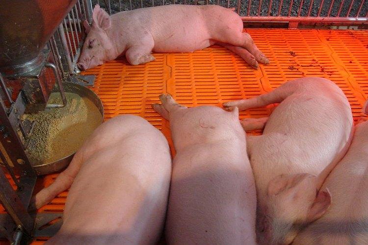 Cómo criar cerdos.
