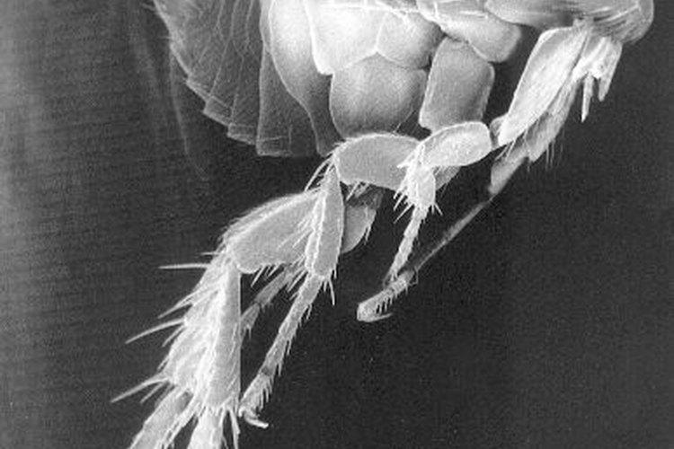 Micrografía por barrido electrónico de una pulga.