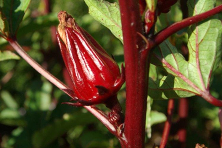 El hibiscus sabdariffa.