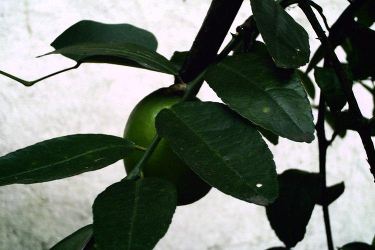 Diferencias entre árbol de limas y limonero.