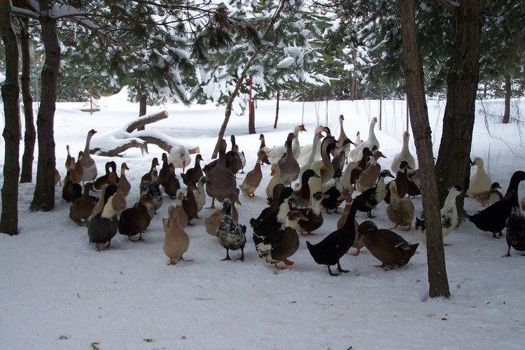 Bandada de patos en la nieve.