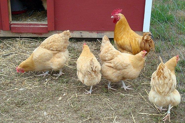 Cria pollos para tu consumo.