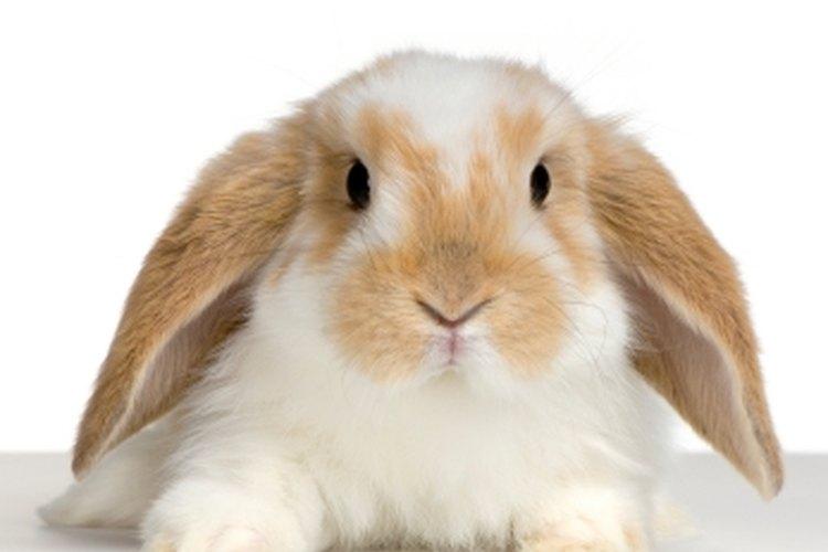 Los conejos pueden contraer pulgas tan fácilmente como otros animales.