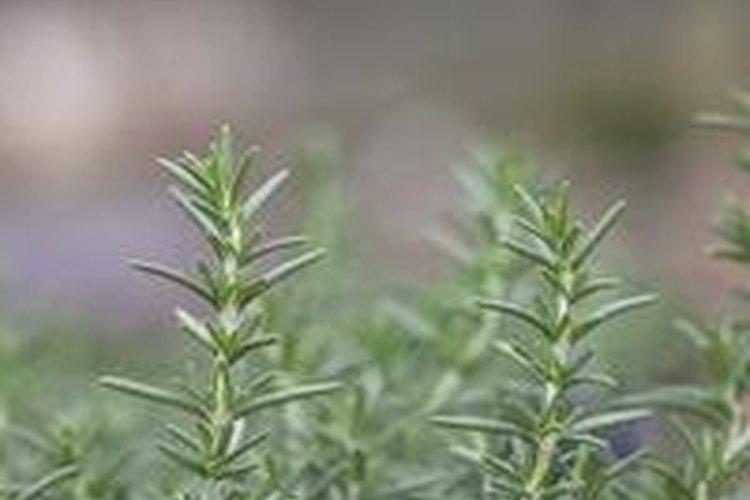 El romero no sólo se utiliza para cocinar con pollo, también se suele utilizar como una planta que con su fragancia perfuma el jardín.