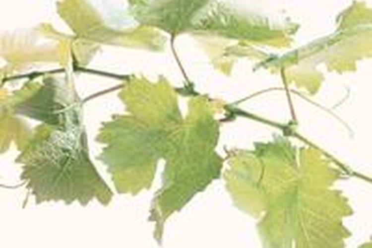 El cilantro se cultiva mejor lejos de las otras plantas del jardín