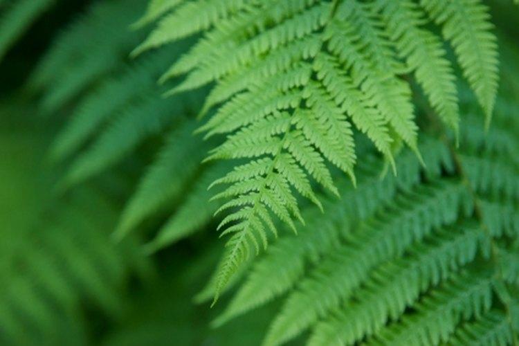 Los helechos son plantas muy atractivas para lucir en tu hogar.