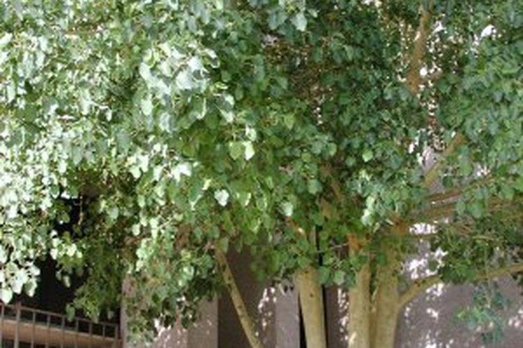 Árbol de ficus.