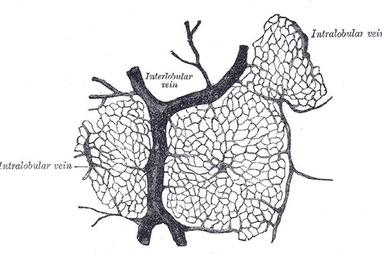 Hígado.