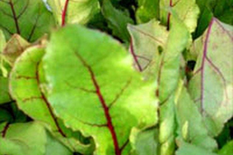 Las hojas de las remolachas son ricas en minerales y  vitaminas.