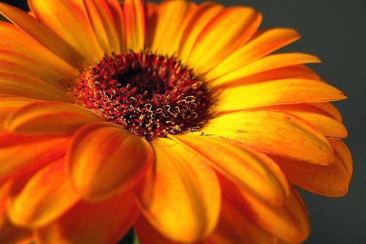 La margarita gerbera está incluida en la lista de la NASA de plantas purificadoras del aire interior.