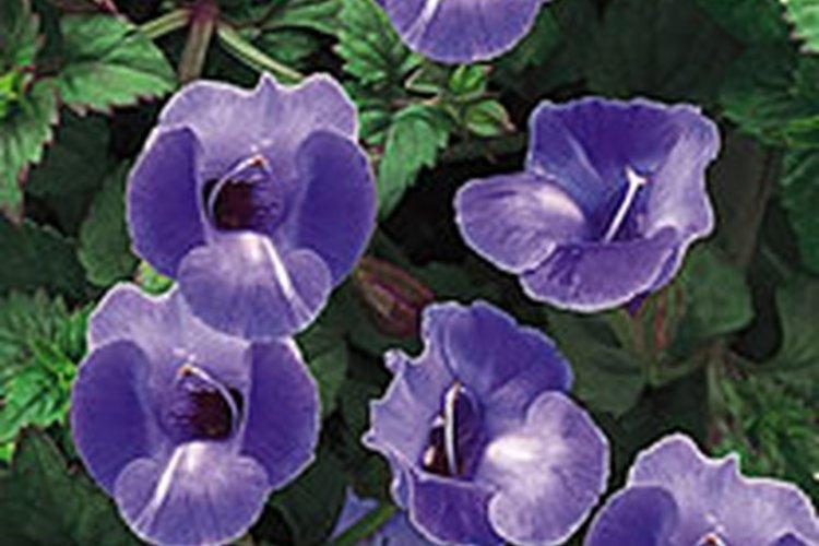 La torenia fournieri, también llamada flor de Wishbone, es anual con pequeñas hojas verdes extendidas.