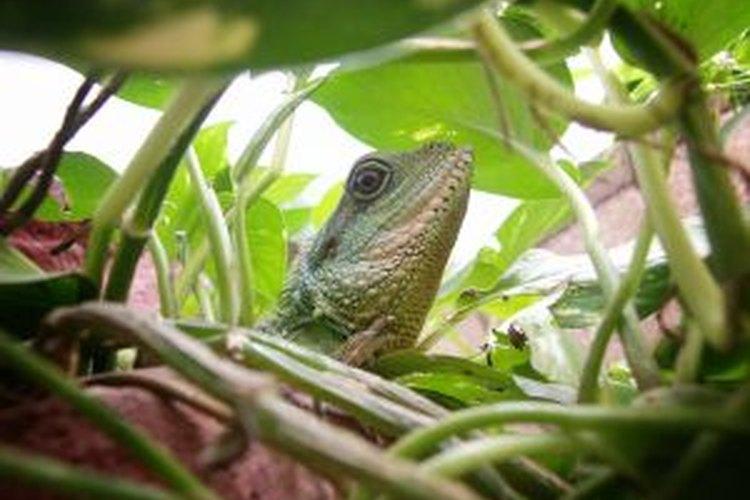 Esta lagartija ama su casa terrario.