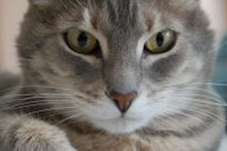 Trata los gases de tu gato con simples remedios caseros.