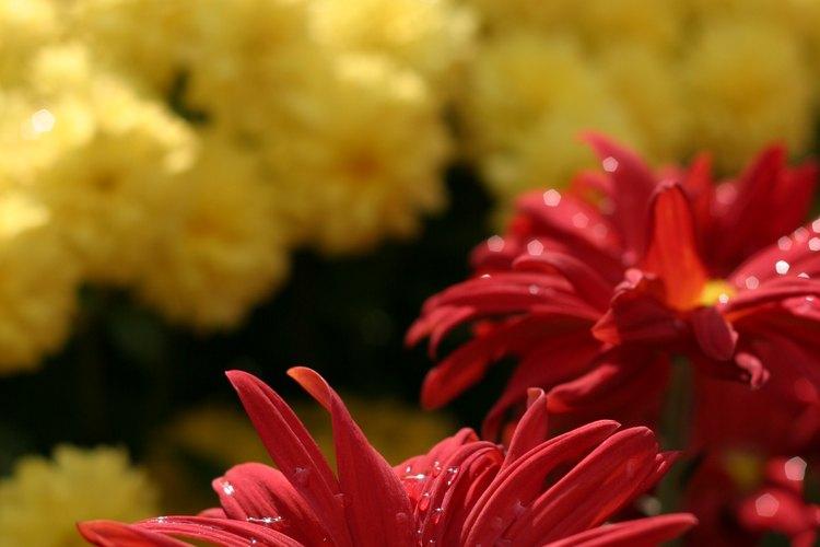Las flores del crisantemos anuncian la llegada del otoño.