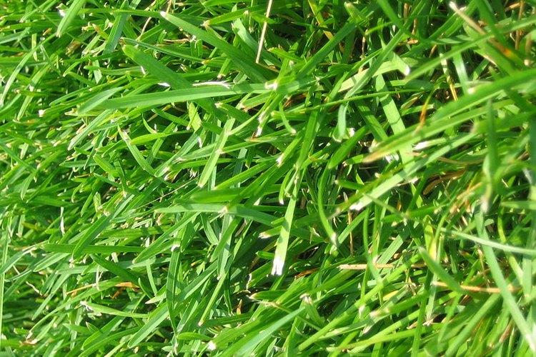 ¿Qué tipo de semillas de césped son las mejores para un suelo de arcilla?