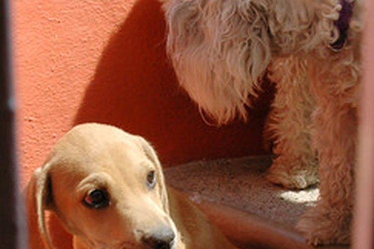 Las llagas en los codos son comunes en todo tipo de perros.
