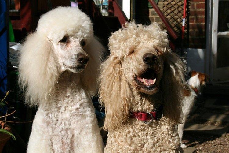 Los ataques en los perros causados por la diabetes son prevenidos fácilmente.