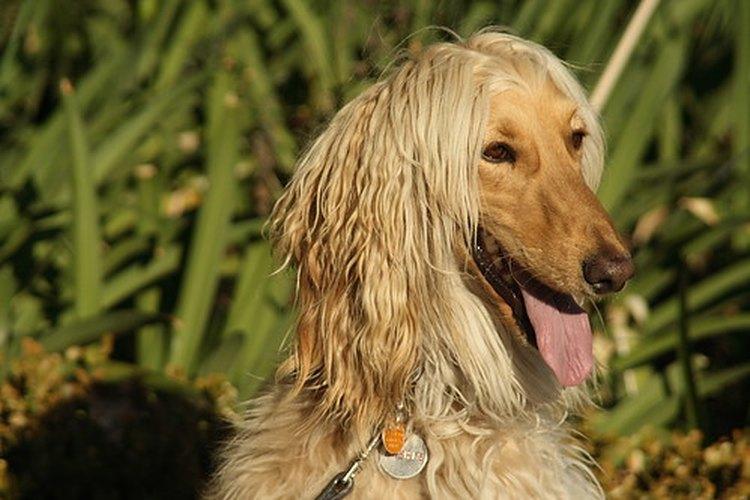 Los perros que tienen lombrices o giardia necesitan tratamiento.