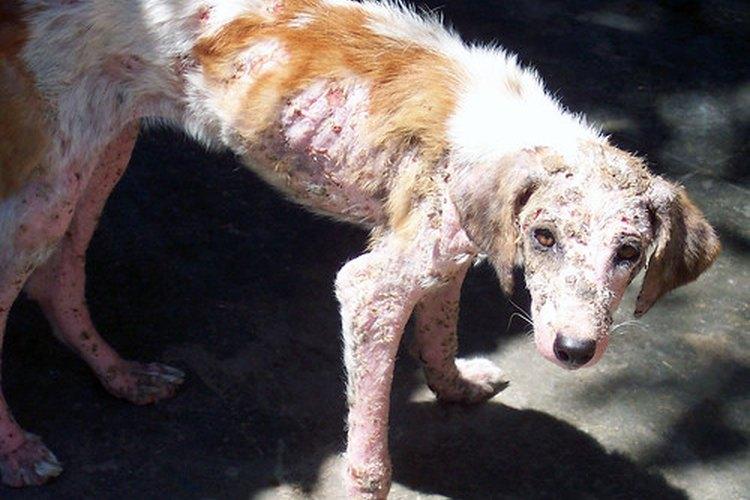 La sarna puede causar enfermedades graves e incluso la muerte en perros o gatos.