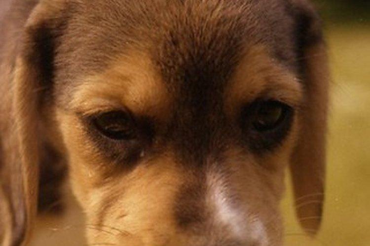 Por lo general, los beagles son negros y marrón claro o blancos y anaranjados.
