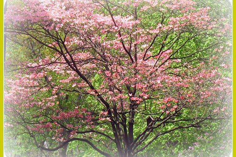 La antracnosis ataca a los cornejos en floración.