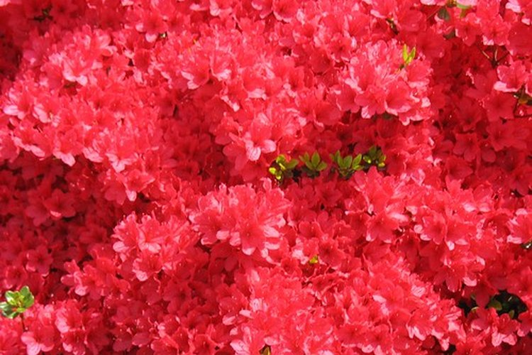 Azaleas rosas.