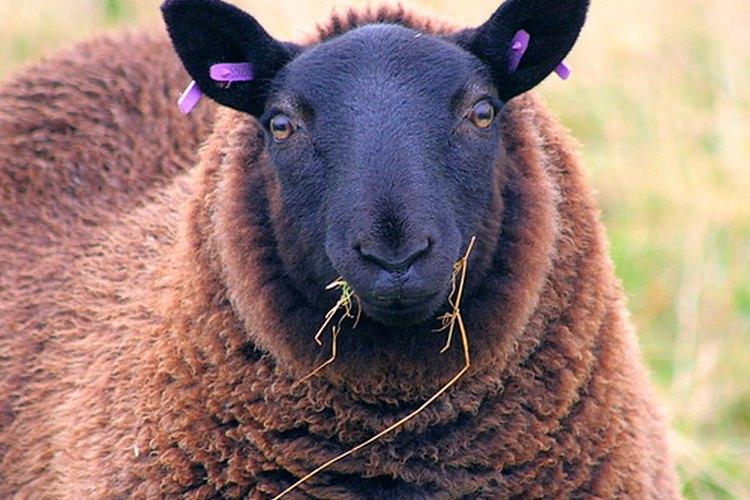 La lanolina es el aceite natural en la lana de las ovejas.