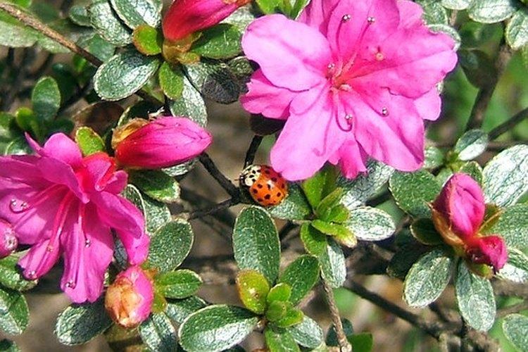 Las azaleas son la flor silvestres oficial de Georgia, EE. UU.