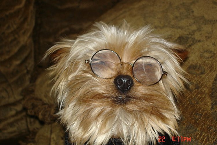 Los lentes no ayudarán a los perros con cataratas.