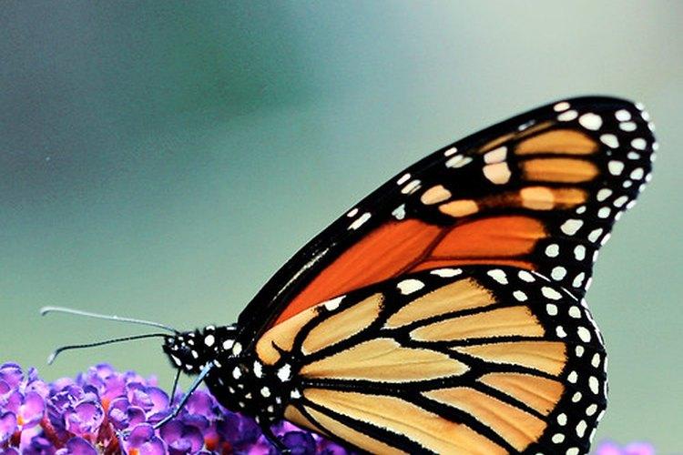Las mariposas se alimentan del néctar.